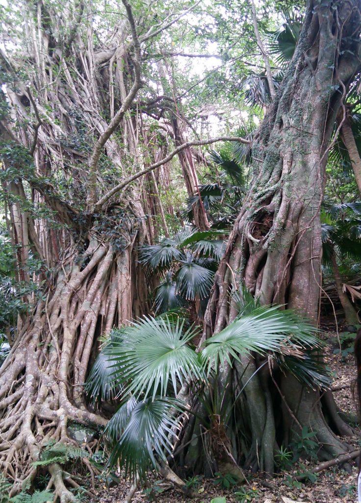トカラ列島 平島 ガジュマルの古木